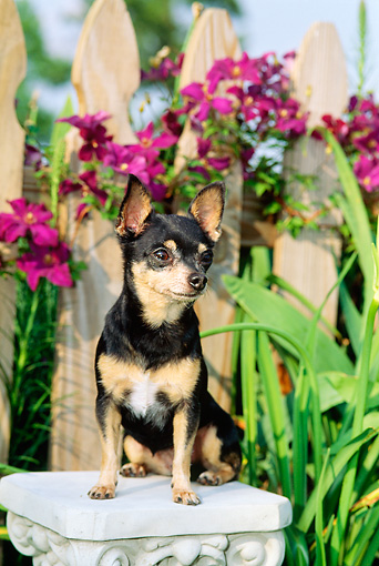 DOG 19 CE0011 01 © Kimball Stock Chihuahua Sitting On Pedestal In Garden