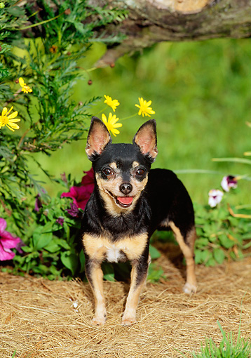 DOG 19 CE0013 01 © Kimball Stock Chihuahua Standing On Pine Needles By Flowers