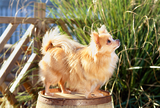 DOG 19 CE0016 01 © Kimball Stock Chihuahua Standing On Barrel By Tall Grass And Fence