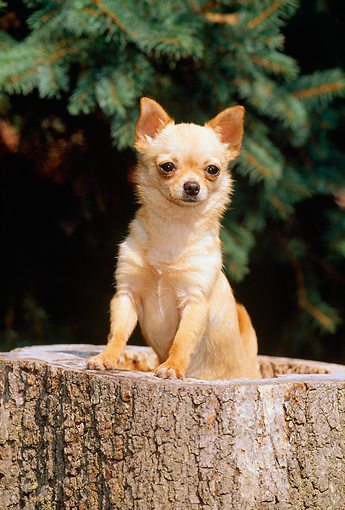 DOG 19 CE0018 01 © Kimball Stock Chihuahua Standing In Hollow Tree Stump By Tree