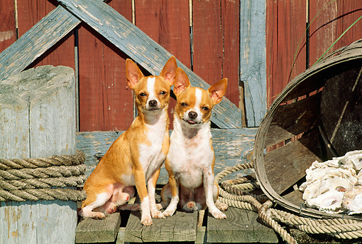DOG 19 CE0020 01 © Kimball Stock Two Chihuahuas Sitting On Dock By Boathouse