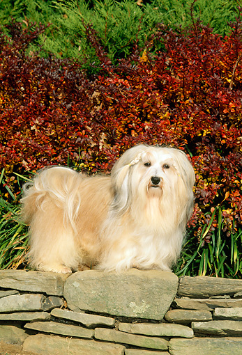 DOG 19 CE0021 01 © Kimball Stock Havanese Standing On Stone Wall By Red And Green Shrubs