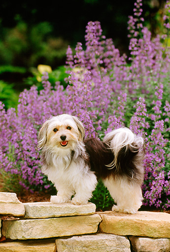 DOG 19 CE0023 01 © Kimball Stock Havanese Standing On Stone Wall By Purple Flowers