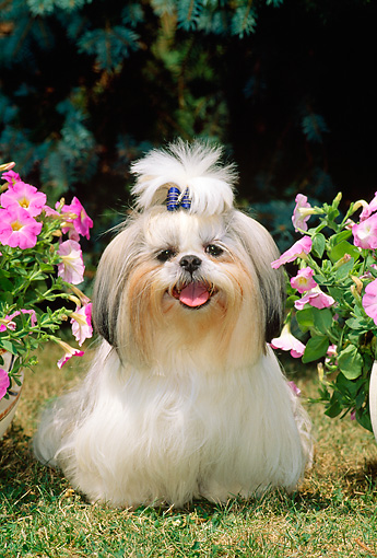 DOG 19 CE0025 01 © Kimball Stock Shih Tzu Standing On Grass Between Pink Flowers