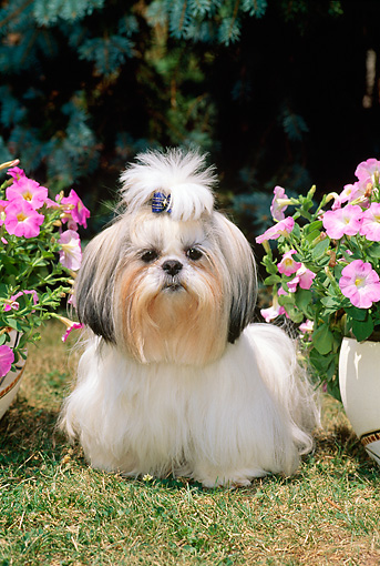 DOG 19 CE0026 01 © Kimball Stock Shih Tzu Standing On Grass Between Pink Flowers