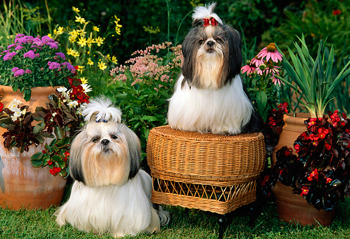 DOG 19 CE0027 01 © Kimball Stock Two Shih Tzus Sitting On And By Wicker Stool In  Flower Garden