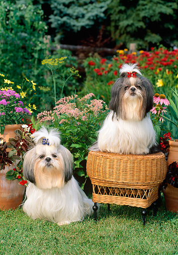 DOG 19 CE0028 01 © Kimball Stock Two Shih Tzus Sitting On And By Wicker Stool In  Flower Garden