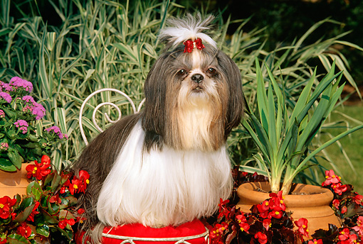 DOG 19 CE0029 01 © Kimball Stock Shih Tzu Sitting On Wire Chair By Flowers And Ornamental Grasses