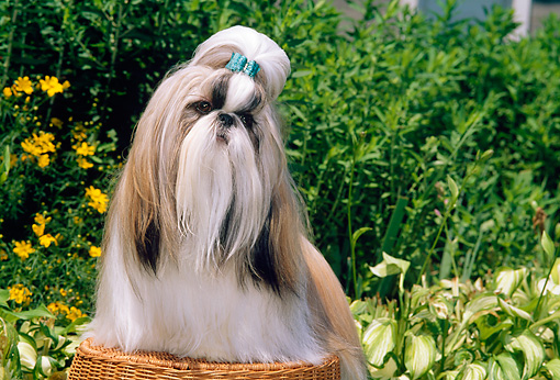 DOG 19 CE0030 01 © Kimball Stock Shih Tzu Sitting On Wicker Stool By Flowers