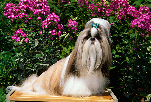 DOG 19 CE0032 01 © Kimball Stock Shih Tzu Sitting On Bench By Purple Flowers