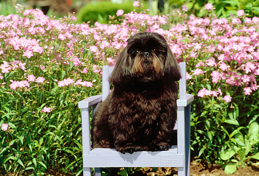 DOG 19 CE0033 01 © Kimball Stock Shih Tzu Sitting On Chair By Pink Flowers