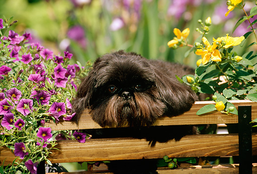 DOG 19 CE0034 01 © Kimball Stock Shih Tzu Laying In Wagon Between Flowers