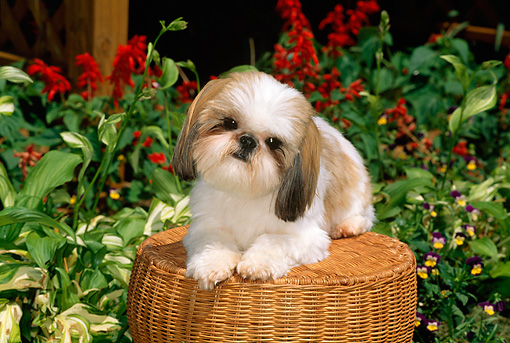 DOG 19 CE0036 01 © Kimball Stock Shih Tzu Laying On Wicker Stool By Red Flowers