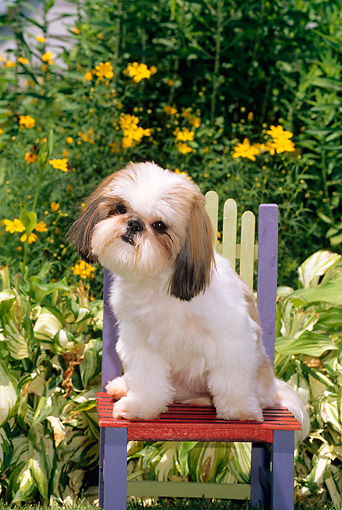 DOG 19 CE0037 01 © Kimball Stock Shih Tzu Sitting On Colorful Chair By Yellow Flowers