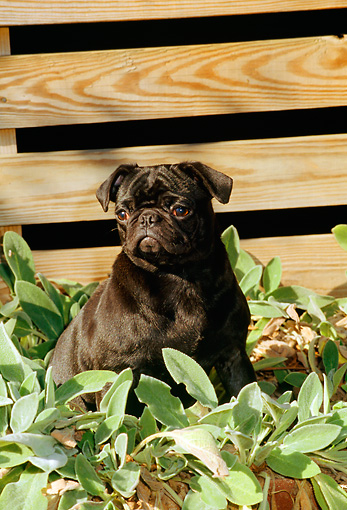 DOG 19 CE0039 01 © Kimball Stock Pug Sitting Among Plants By Wooden Crate