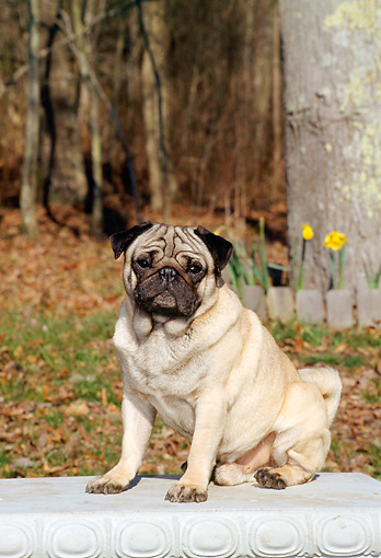 DOG 19 CE0040 01 © Kimball Stock Pug Sitting On Concrete Bench By Trees