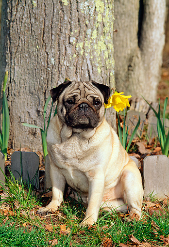 DOG 19 CE0042 01 © Kimball Stock Pug Sitting On Grass By Trees