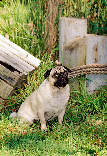 DOG 19 CE0044 01 © Kimball Stock Pug Sitting On Grass By Wooden Posts And Box