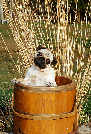 DOG 19 CE0045 01 © Kimball Stock Pug Standing In Wooden Bucket By Dry Tall Grass