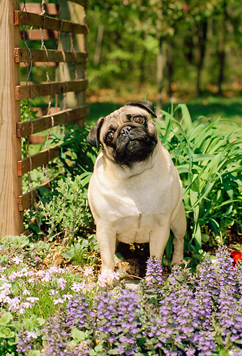 DOG 19 CE0048 01 © Kimball Stock Pug Sitting By Flowers And Trellis