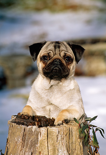 DOG 19 CE0052 01 © Kimball Stock Pug Standing Behind Tree Stump In Snow