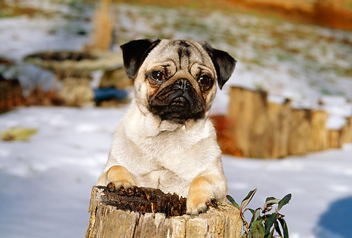 DOG 19 CE0053 01 © Kimball Stock Pug Standing Behind Tree Stump In Snow