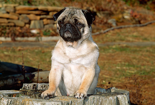 DOG 19 CE0054 01 © Kimball Stock Pug Standing Inside Tree Stump By Grass And Stone Wall