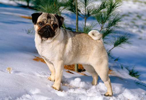 DOG 19 CE0055 01 © Kimball Stock Pug Standing On Snow By Pine Tree