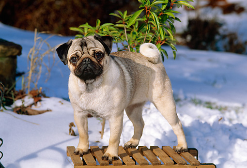 DOG 19 CE0056 01 © Kimball Stock Pug Standing On Sled By Shrub And Snow