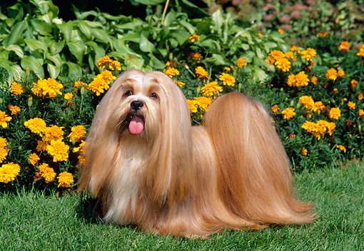 DOG 19 CE0058 01 © Kimball Stock Lhasa Apso Standing On Grass By Orange Marigolds