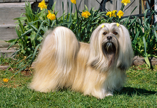 DOG 19 CE0059 01 © Kimball Stock Lhasa Apso Standing On Grass By Yellow Flowers And Wooden Steps