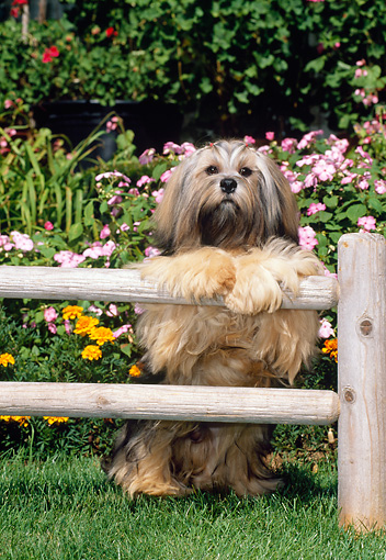 DOG 19 CE0060 01 © Kimball Stock Lhasa Apso Standing Up On Fence Rail On Grass By Flowers
