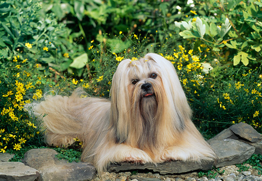 DOG 19 CE0061 01 © Kimball Stock Lhasa Apso Laying On Stone By Yellow Flowers
