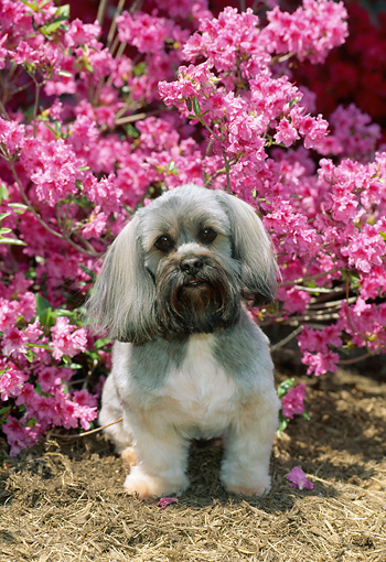DOG 19 CE0063 01 © Kimball Stock Lhasa Apso Sitting On Dry Grass By Pink Flowers