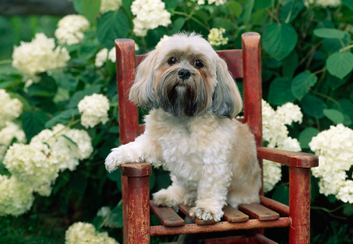 DOG 19 CE0064 01 © Kimball Stock Lhasa Apso Sitting On Wooden Chair By White Hydrangea