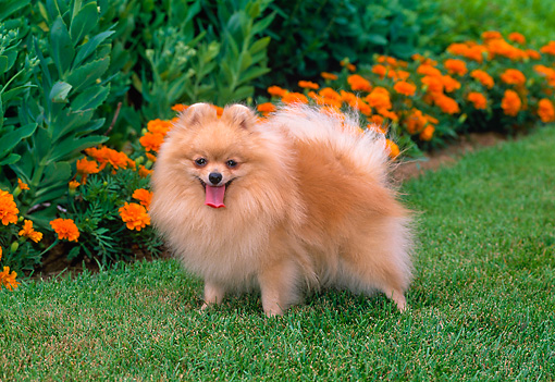 orange pomeranian puppy orange pomeranian 9564