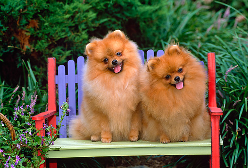 DOG 19 CE0068 01 © Kimball Stock Two Pomeranians Sitting On Colorful Bench By Shrubs