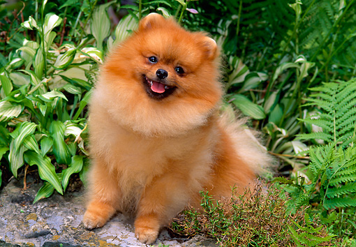 DOG 19 CE0069 01 © Kimball Stock Pomeranian Sitting By Shrubs