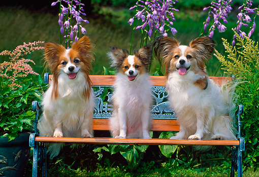 DOG 19 CE0072 01 © Kimball Stock Three Papillons Sitting On Bench By Shrubs