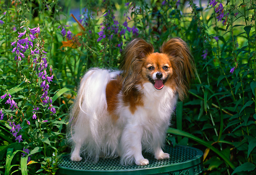 DOG 19 CE0073 01 © Kimball Stock Papillon Standing On Table By Purple Flowers