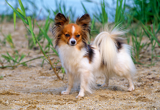 DOG 19 CE0074 01 © Kimball Stock Papillon Standing On Sand Tall Grass And Water