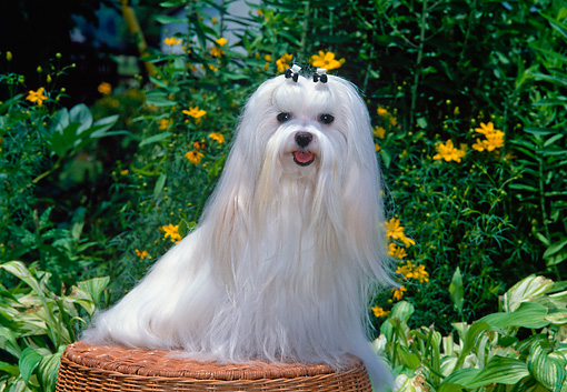 DOG 19 CE0076 01 © Kimball Stock Maltese Sitting On Wicker Basket In Garden By Yellow Flowers
