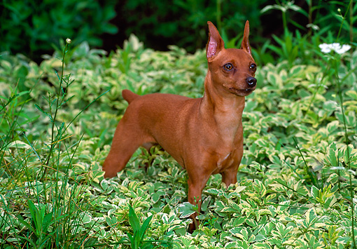 DOG 19 CE0077 01 © Kimball Stock Miniature Pinscher Standing In Foliage