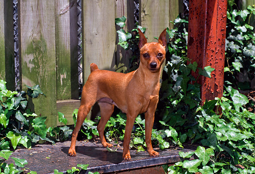 DOG 19 CE0078 01 © Kimball Stock Miniature Pinscher Standing On Step By Fence And Foliage
