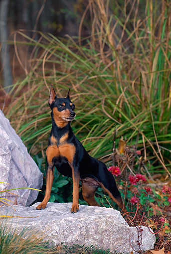 DOG 19 CE0079 01 © Kimball Stock Miniature Pinscher Standing On Rock In Field
