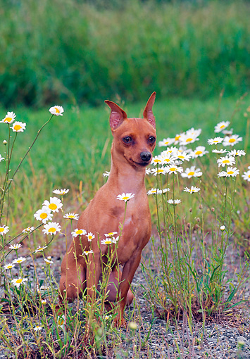 DOG 19 CE0080 01 © Kimball Stock Miniature Pinscher Sitting In Field With White Flowers