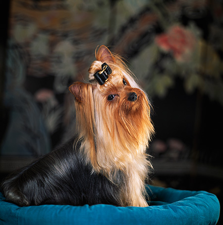 DOG 19 DC0001 01 © Kimball Stock Yorkshire Terrier With Bow Sitting On Dog Bed