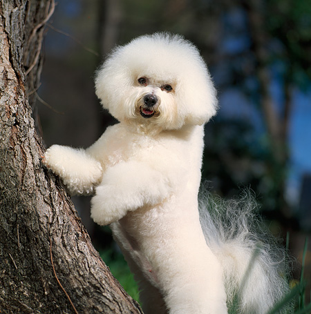 DOG 19 DC0008 01 © Kimball Stock Bichon Frise Standing On Hind Legs Against Tree