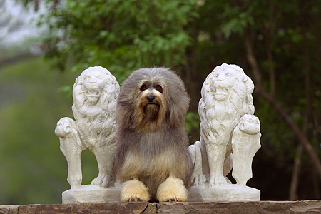 DOG 19 DC0111 01 © Kimball Stock Portrait Of Lowchen Dog Laying By Statues