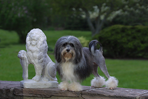 DOG 19 DC0114 01 © Kimball Stock Portrait Of Lowchen Dog Standing By Statue